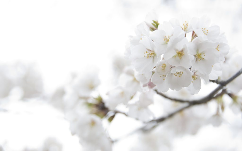 white-flowers-background-1